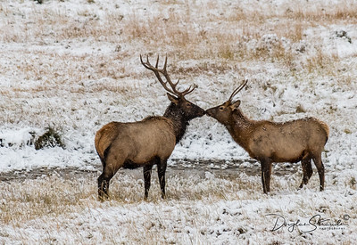 Elk Meet in the Snow