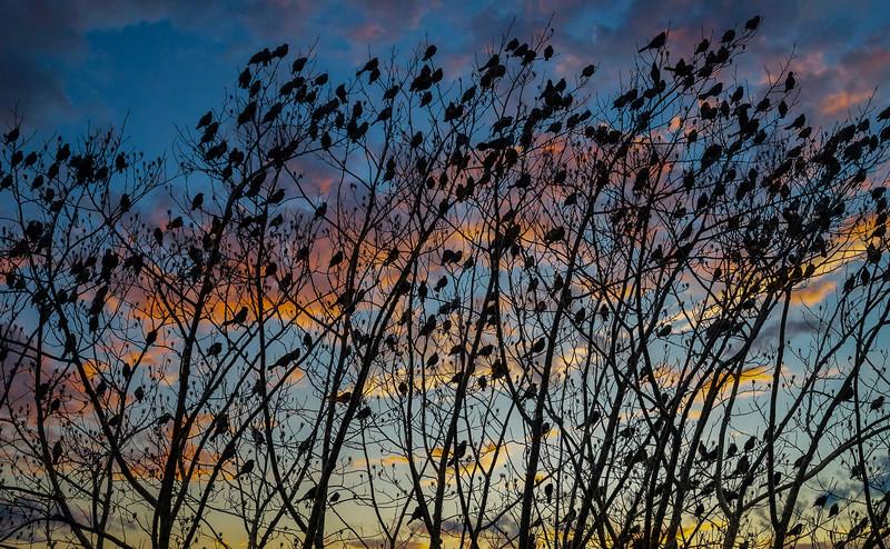 Grackles At Sunset