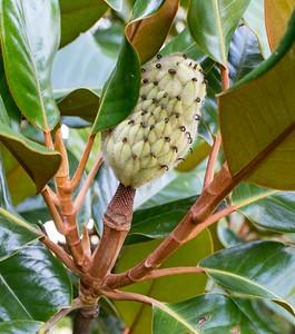 Magnolia Fruit forming