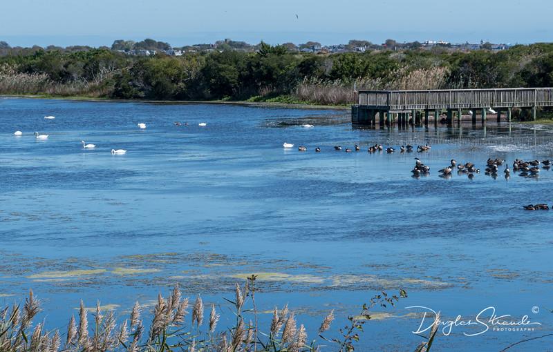 Swans & Geese