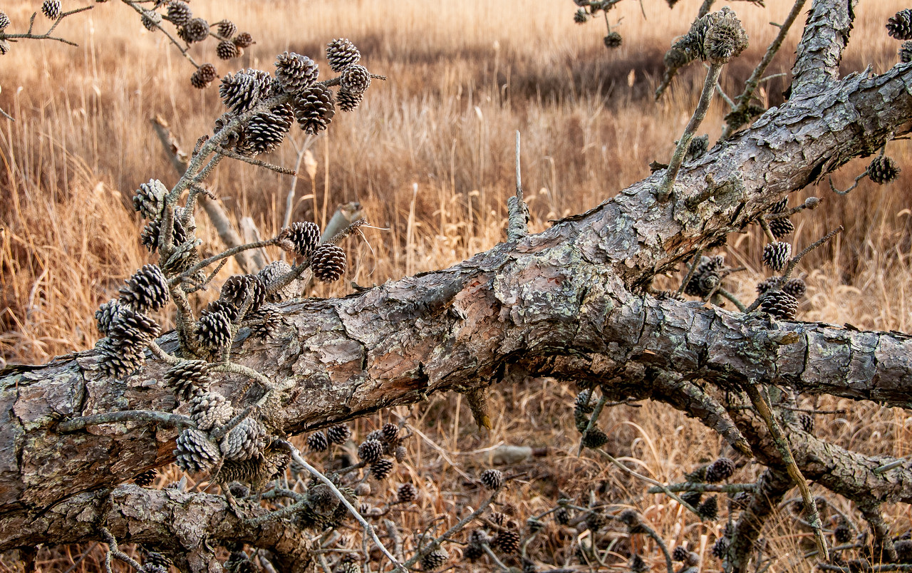 Pine Cones on a Fallen Tree