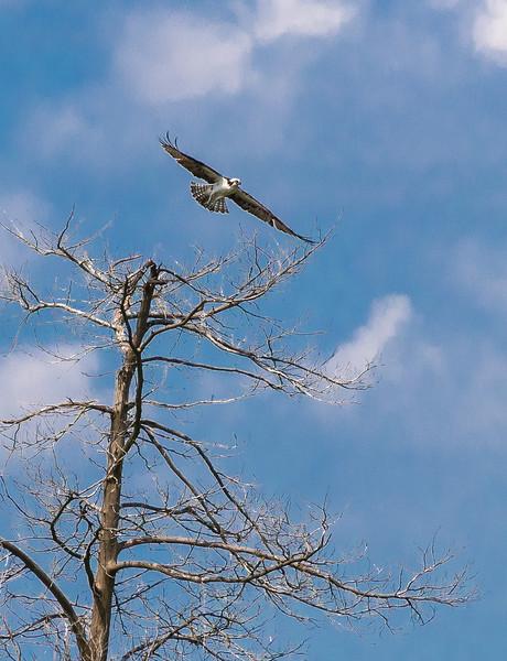 Osprey Banding