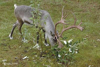 0508290943_Reindeer