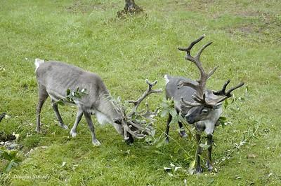 0508290943_Reindeer2