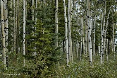 0509021046_Birches