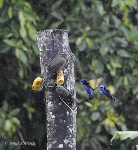 Arenal: birds share a banana