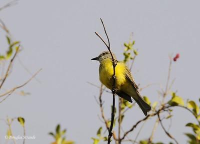 SanJose:  Kingbird