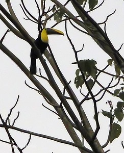 Sarapiqui: toucans