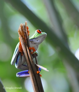 Sarapiqui: Red-eyed tree frog