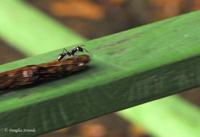 Sarapiqui: Bad-news ant