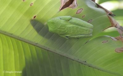 Sarapiqui: Frog hiding