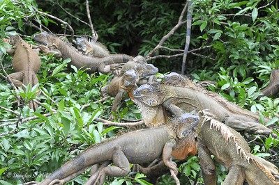AlongTheWay: iguanas