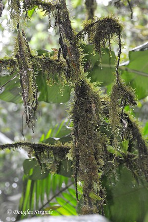 Sarapiqui: lichens