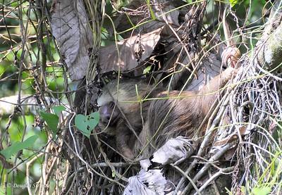 Sarapiqui: sloth
