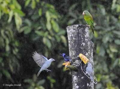 Arenal: parakeet has arrived