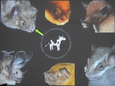 Sarapiqui: bats