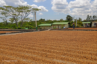 Tres Generations:  Sun-Drying Coffee