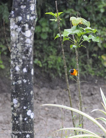 Arenal: another species