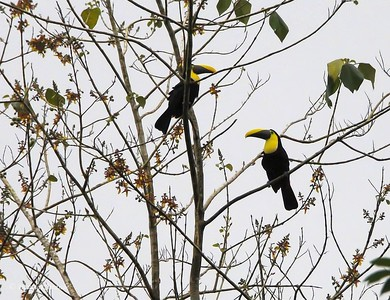 Sarapiqui: two toucans
