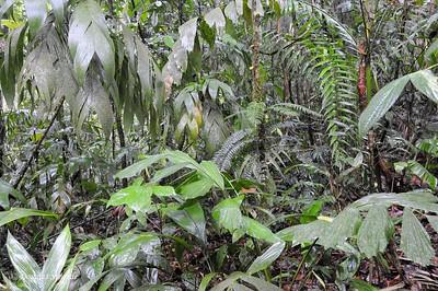 Sarapiqui: rainforest folliage