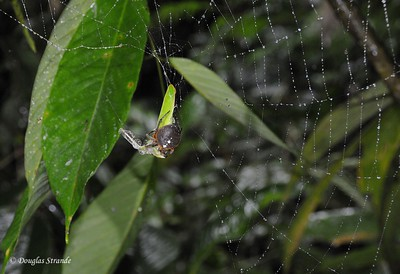 Sarapiqui: spider with mantis remains
