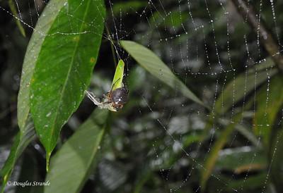 Sarapiqui: spider with mantis remains