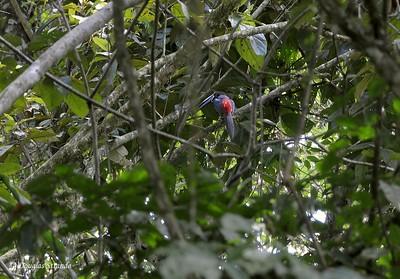 Sarapiqui: aracari (toucan family)