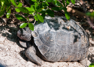 Gopher Tortoise at Bowditch Point Park