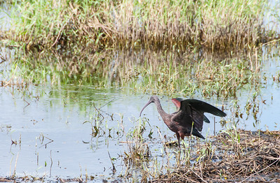 Glossy Ibis at Myakka River Park