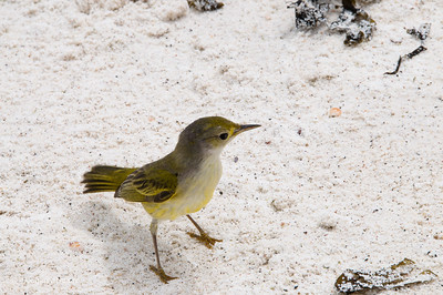 Yellow Warbler at Gardner Bay, Espanola Island