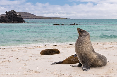 Sea Lions at Gardner Bay, Espanola Island