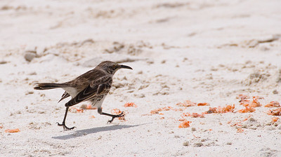 Mockingbird at Gardner Bay, Espanola Island
