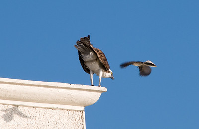 A small bird pestering the Osprey next door