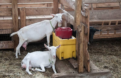 Dairy goats at Lively Run Dairy