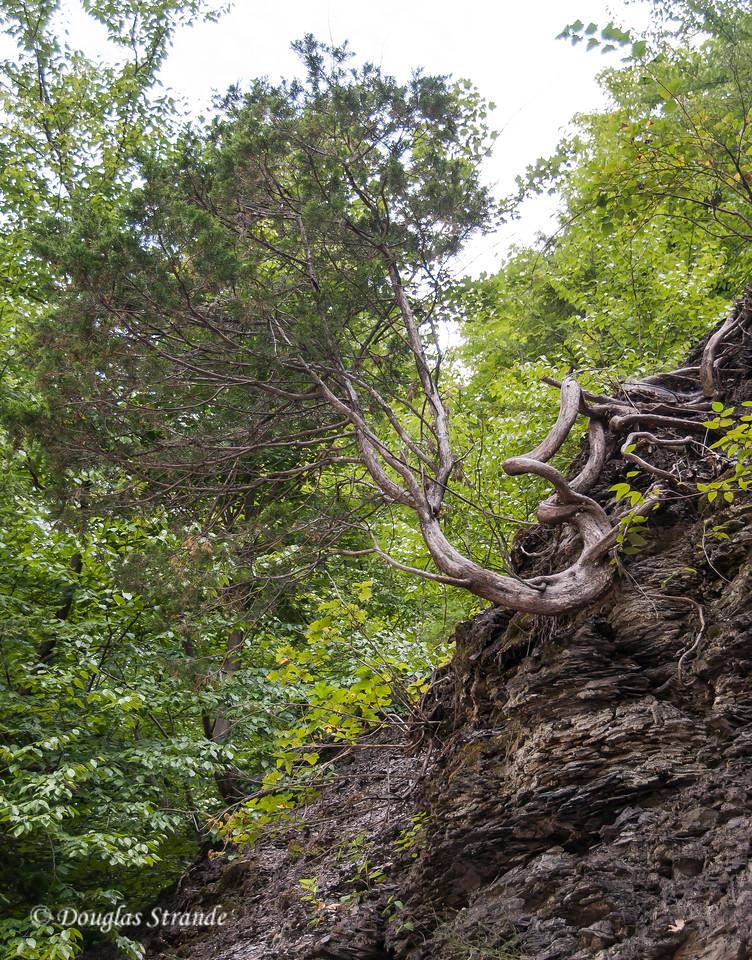 Gnarled tree clinging to rock wall