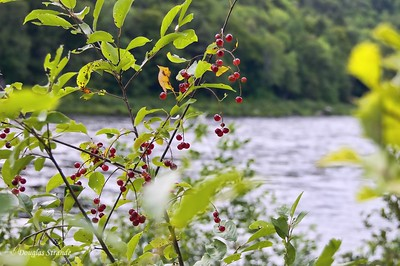 Berries by the Kennebeck River