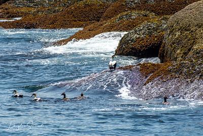 Gulls and Cormorants
