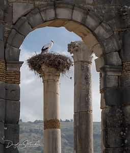 Stork on Roman column at Volubilis