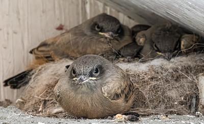 Phoebe fledglings