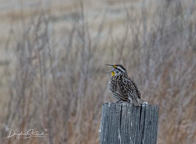 Western Meadowlark Sings
