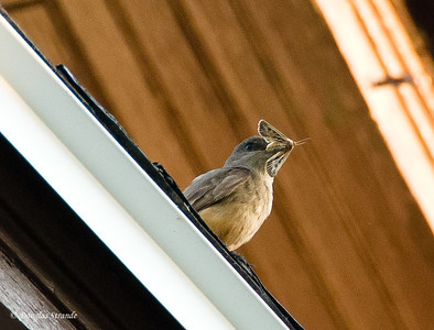 2012  Mystery Bird with a moth
