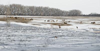 Deer herd foraging for food