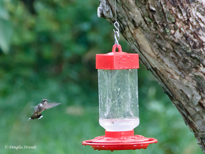 Hummingbird fuels up for migration