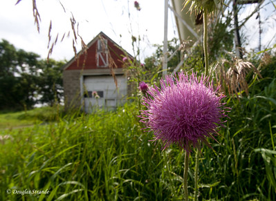 2011   Thistles by the shop