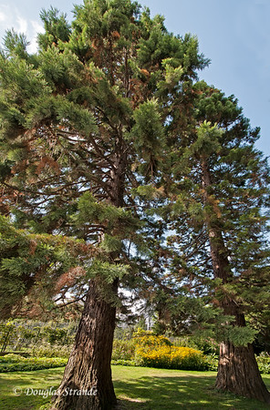 "Luxembourg Garden has a pair of ""Giant Sequoia"" trees from California.  They are not giants!"