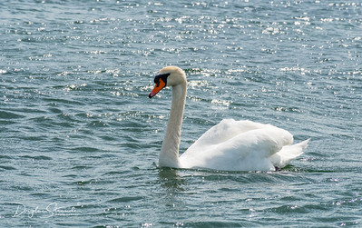 Swan, the Danish National Bird