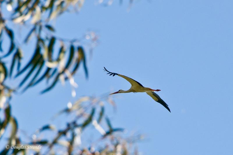 Wed 3/16 in Portugal: Stork in flight