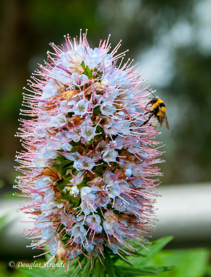 """Island of Madeira - """"Pride of Madeira"""" flower with a visitor"""