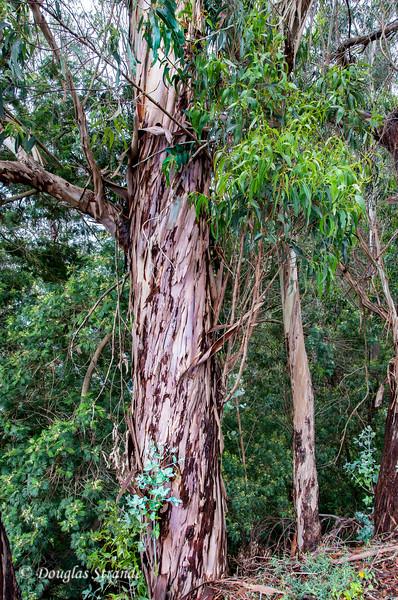 Island of Madeira - Eucalyptus trees