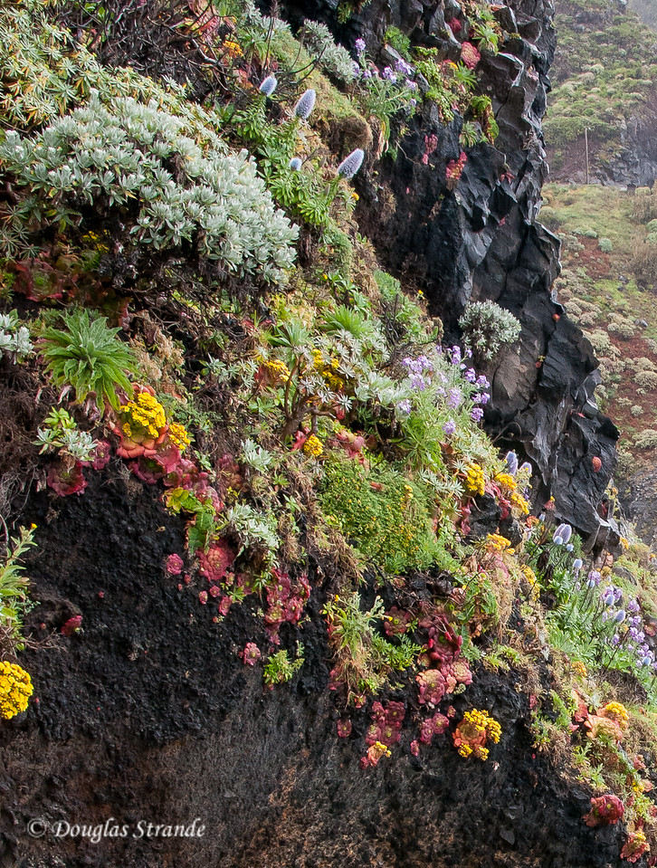 Island of Madeira - vibrant flowers at a rocky volcanic beach